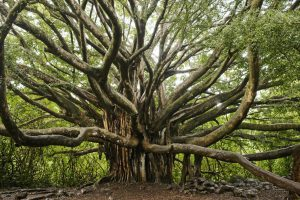 tree - adoption vs adaptation